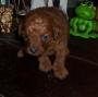 Cachorra de Caniche toy roja Inscripta FCA en venta
