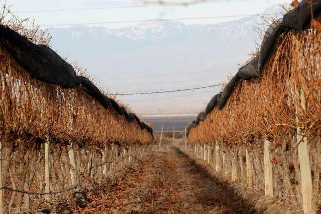 Vendo viñedo en tupungato valle de uco mendoza