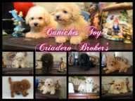 Bellos cachorros de caniche toy en venta