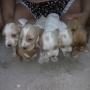 vendo cachorros cocker spaniel