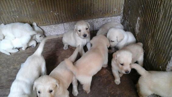 Cachorros de golden.