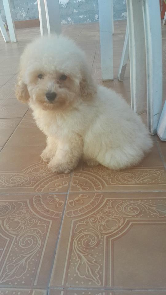 Cachorro de caniche toy de color blanco fca en venta