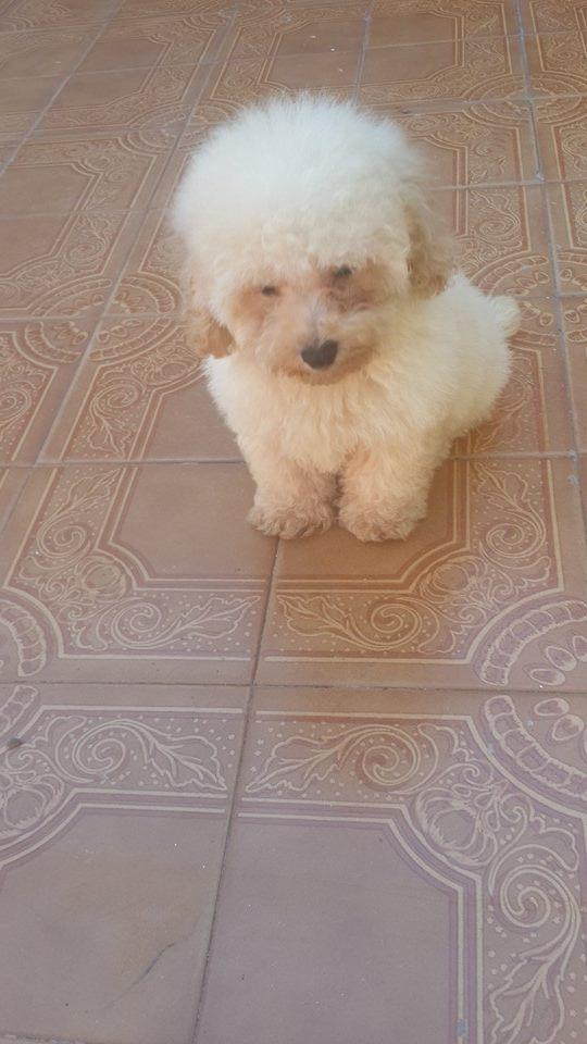 Fotos de Cachorro de caniche toy de color blanco fca  en venta 2