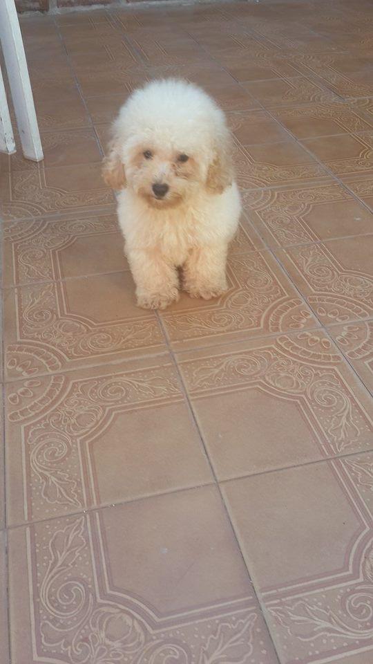 Fotos de Cachorro de caniche toy de color blanco fca  en venta 3
