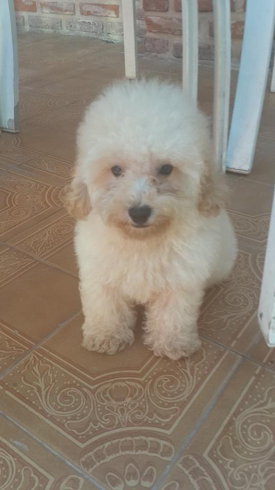 Fotos de Cachorro de caniche toy de color blanco fca  en venta 4