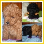 Caniches Micro Toy & Mini Toy. Excelentes cachorros!!!!