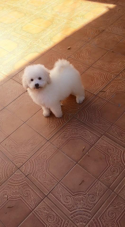 Cachorra de caniche toy blanca fca en venta