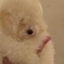 cachorro caniche toy