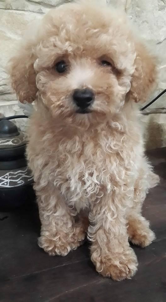 Fotos de Cachorro de caniche toy apricot intenso en venta 4