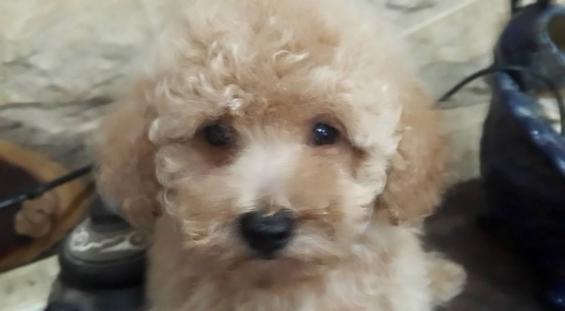 Fotos de Cachorro de caniche toy apricot intenso en venta 2