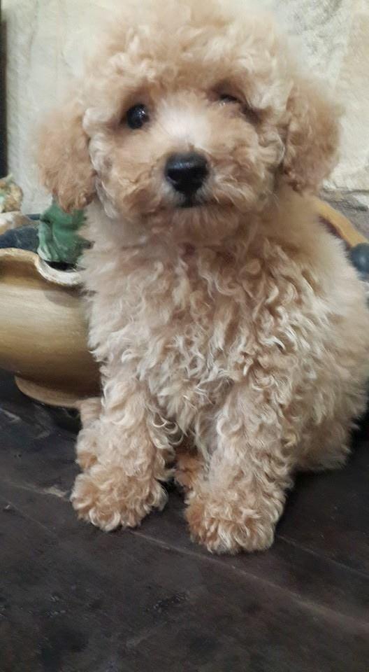 Fotos de Cachorro de caniche toy apricot intenso en venta 5