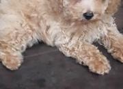 Cachorro de Caniche toy apricot intenso en venta