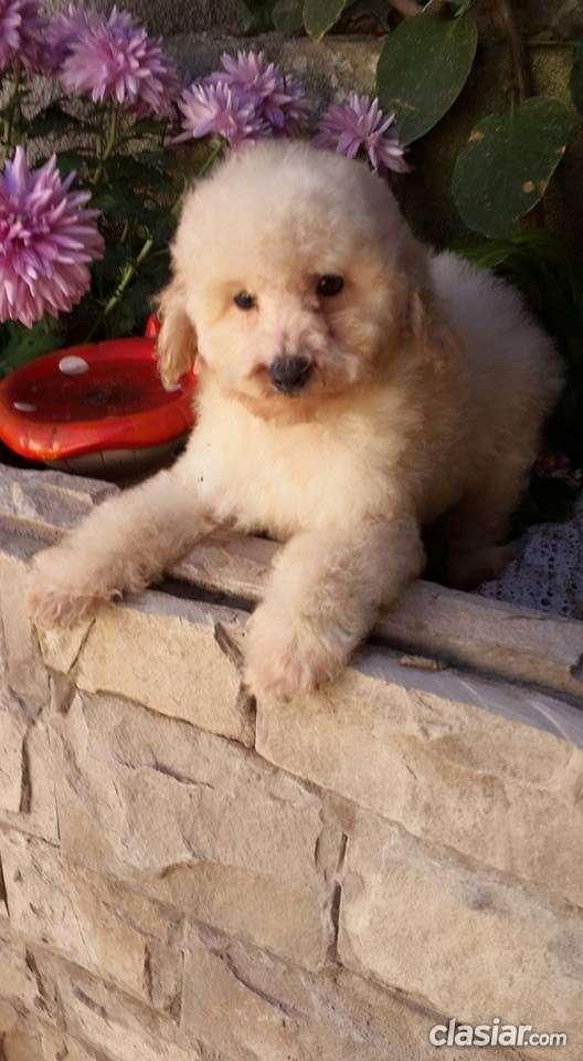 Fotos de Broker's lionel precioso caniche toy blanco en venta 2