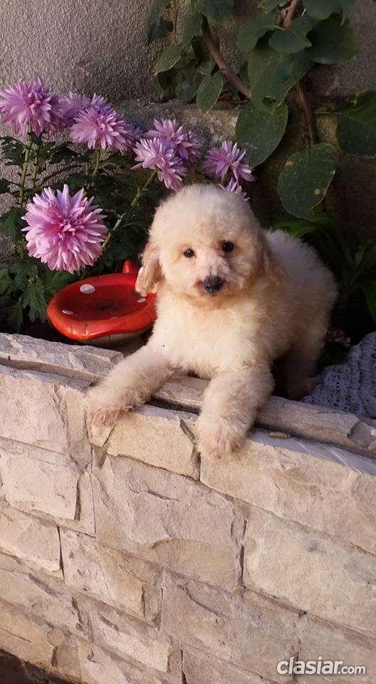 Fotos de Broker's lionel precioso caniche toy blanco en venta 3