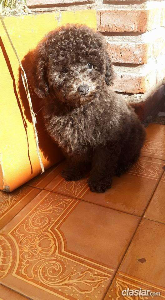 Hermoso cachorro de caniche toy de color gris en venta