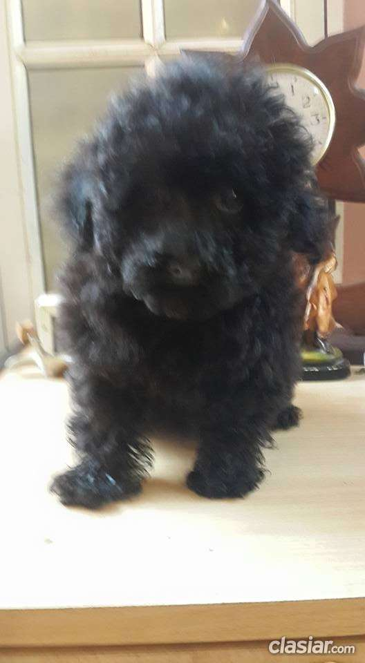 Fotos de Machito de caniche toy en color negro azabache en venta 3