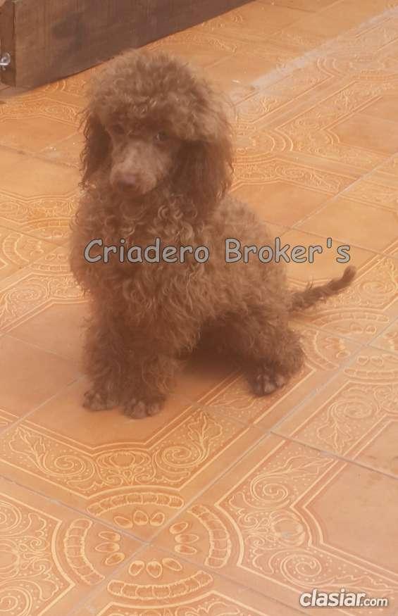 Fotos de Macho caniche toy de color marron apto reproductor en venta 2