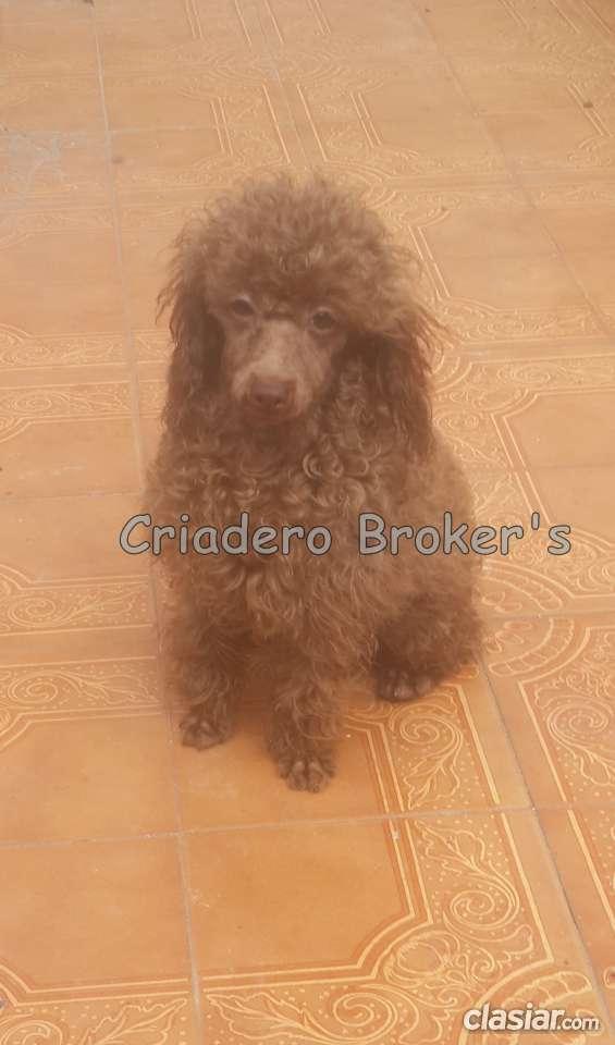 Fotos de Macho caniche toy de color marron apto reproductor en venta 3