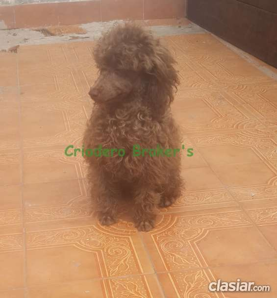Macho caniche toy de color marron apto reproductor en venta
