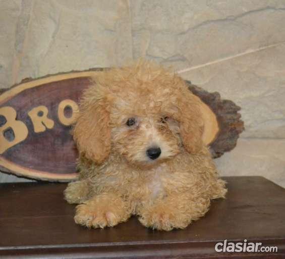 Fotos de Caniches toy federados a la venta 4