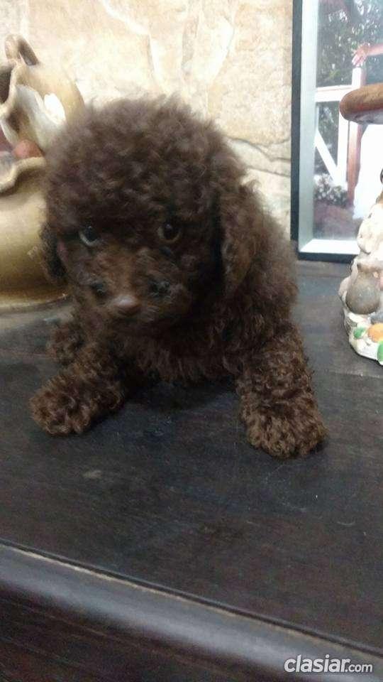 Fotos de Caniche toy machito marron chocolate a la venta 4