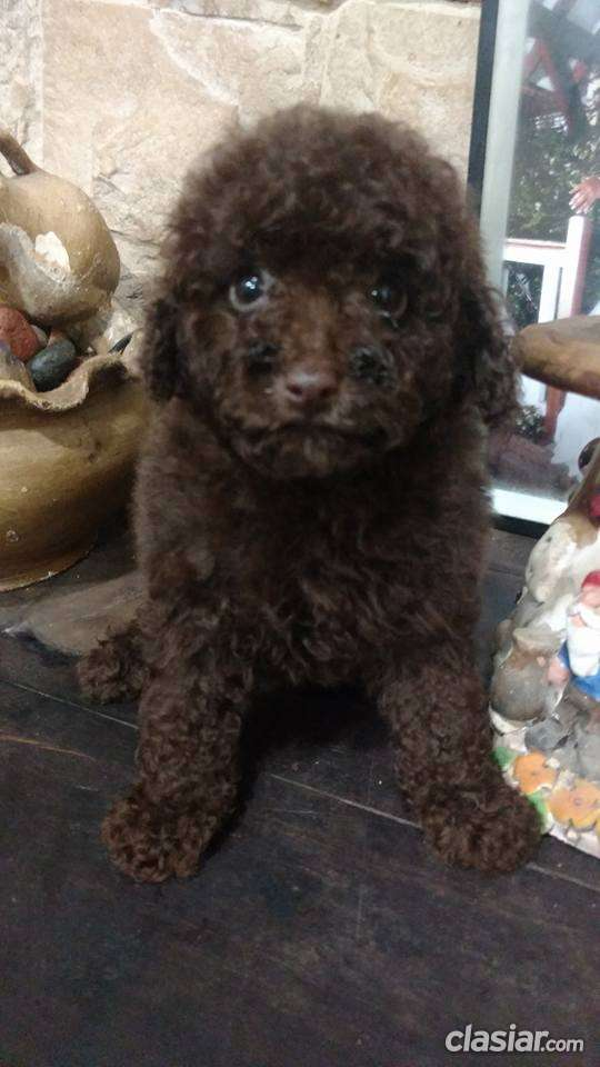 Caniche toy machito marron chocolate a la venta
