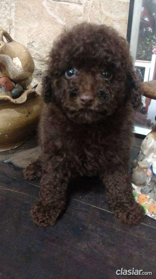 Fotos de Caniche toy machito marron chocolate a la venta 3