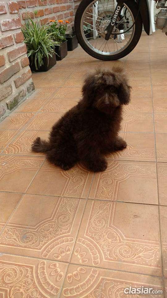 Fotos de Caniches toy marrones a la venta 2
